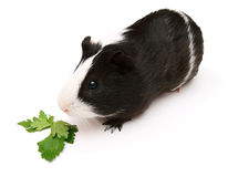 Guinea pig and greens. On a white background. Stock Image
