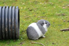 Guinea Pig. Grey and White Guinea Pig Royalty Free Stock Image