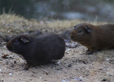 Guinea pig group Stock Photography