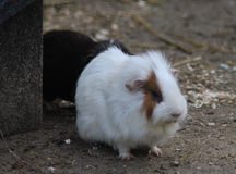 Guinea pig group Royalty Free Stock Photography