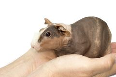 Guinea pig. Hairless guinea pig on a white background Stock Image