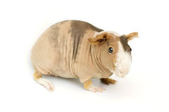 Guinea pig. Hairless guinea pig on a white background Stock Photos