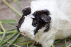 Guinea pig or hamster Stock Image
