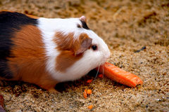 Guinea pig or hamster Stock Photo