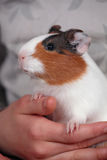 Guinea pig in hand 1. Young guinea pig sits on child hands Stock Image