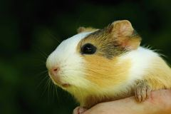 Guinea pig on hand Stock Image