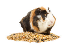 Guinea pig on a handful of feed Stock Photography