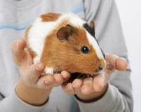 Guinea pig in the hands of a boy Stock Photos