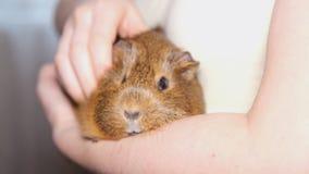 Guinea pig stock footage