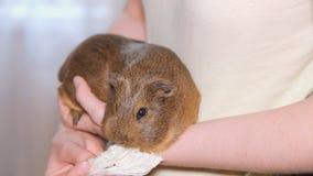 Guinea pig stock video