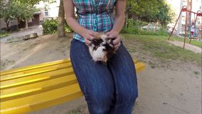 Guinea pig in hands. Guinea pig sits on a hand of a woman who strokes her tenderly stock video