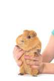 Guinea pig and hands Royalty Free Stock Photos