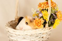 Guinea Pig Happy Easter with Eggs. And Flowers in the wicker basket Stock Images