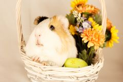 Guinea Pig Happy Easter with Eggs. And Flowers in the wicker basket Stock Image
