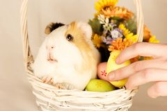 Guinea Pig Happy Easter with Eggs. And Flowers in the wicker basket Royalty Free Stock Images