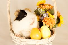 Guinea Pig Happy Easter with Eggs. And Flowers in the wicker basket Royalty Free Stock Image