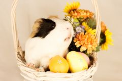 Guinea Pig Happy Easter with Eggs. And Flowers in the wicker basket Stock Photography