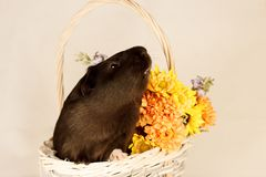 Guinea Pig Happy Easter with Eggs. And Flowers in the wicker basket Royalty Free Stock Photos