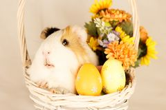 Guinea Pig Happy Easter with Eggs. And Flowers in the wicker basket Stock Photos