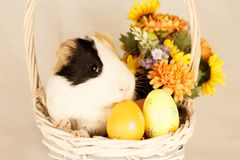 Guinea Pig Happy Easter with Eggs. And Flowers in the wicker basket Stock Photo