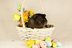 Guinea Pig Happy Easter with Eggs. And Flowers in the wicker basket Royalty Free Stock Photo