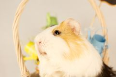 Guinea Pig Happy Easter with Eggs. And Flowers in the wicker basket Royalty Free Stock Photography