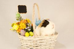 Guinea Pig Happy Easter with Eggs. White, Black and Orange Guinea Pig Happy Easter with Eggs in the Basket Stock Photos
