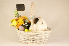Guinea Pig Happy Easter with Eggs. White, Black and Orange Guinea Pig Happy Easter with Eggs in the Basket Stock Photography