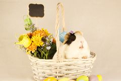 Guinea Pig Happy Easter with Eggs. White, Black and Orange Guinea Pig Happy Easter with Eggs in the Basket Royalty Free Stock Photo