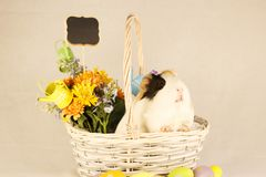 Guinea Pig Happy Easter with Eggs. White, Black and Orange Guinea Pig Happy Easter with Eggs in the Basket Stock Image