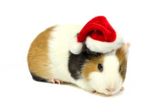 Guinea pig in hat of Santa Claus. Stock Photo