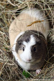 Guinea pig in a hay Stock Images