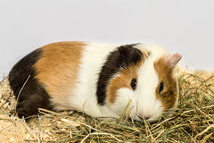 Guinea pig and hay. A Guinea pig is on the sawdust about hay Royalty Free Stock Image