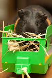 Guinea pig on hay in trailer. Guinea pig in toy trailer Stock Image