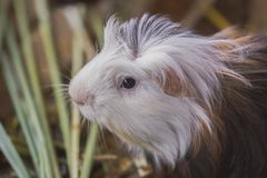 Guinea pig head in the lawn. royalty free stock photo