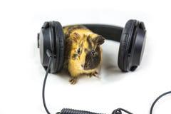 Guinea pig with headphones Stock Photos