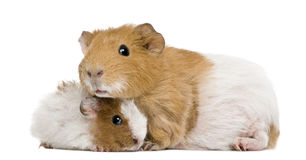 Guinea pig and her baby Royalty Free Stock Photo