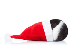 Guinea pig hidding in a christmas hat Royalty Free Stock Photography