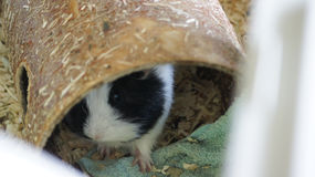 A guinea pig in hiding Royalty Free Stock Image