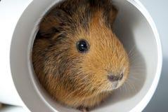 Guinea pig hiding inside a pipe Stock Photo