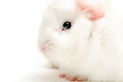 Guinea pig highkey. White guinea pig closeup, shot highkey over white Stock Photography