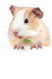 Guinea pig holding cardboard  - put your own text here Stock Photography
