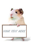Guinea pig holding cardboard  - put your own text here Royalty Free Stock Photo