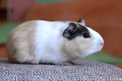 Guinea pig at home Royalty Free Stock Images