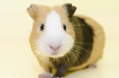 Guinea Pig House animal on yellow Stock Image
