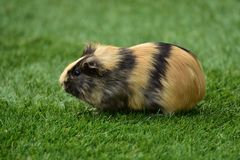 Guinea Pig House, Cavia Porcellus Royalty Free Stock Photos