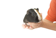 Guinea pig in human hands Royalty Free Stock Photography