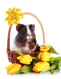Guinea Pig In A Basket With A Bow And Flowers. Stock Images