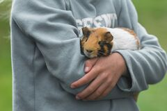 Free Guinea Pig In Kids Hands Stock Photography - 185510282