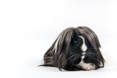 Guinea pig isolated Royalty Free Stock Images